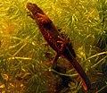 Cynops pyrrhogaster sasayamae female.jpg