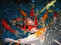 Cyprinus carpio Aquarium Berlin.jpg