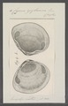 Cyrena zeylanica - - Print - Iconographia Zoologica - Special Collections University of Amsterdam - UBAINV0274 078 05 0006.tif