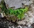 Cystopteris fragilis 2.jpg