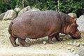 DSC00665 - Hippopotamus (7693675124).jpg