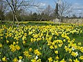 Daffodils at Wimpole Hall - panoramio (1).jpg