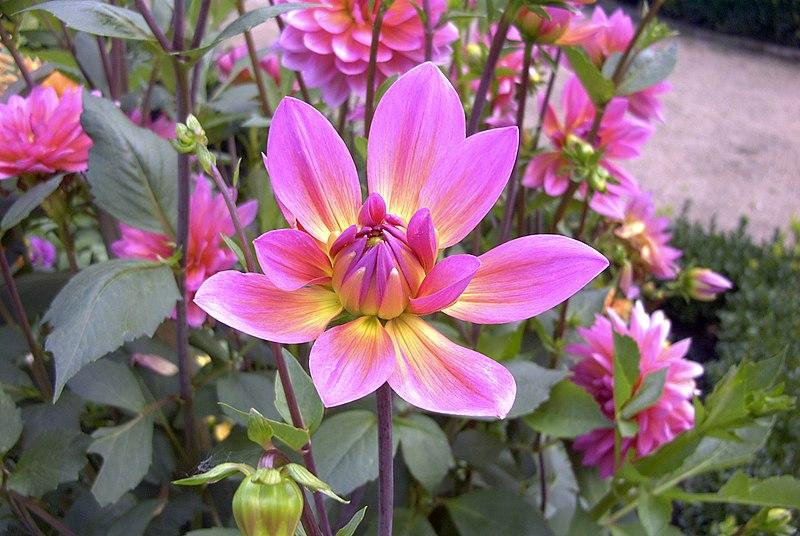 Ficheiro:Dahlia 3.jpg