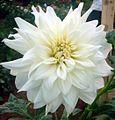 Dahlia flower 10.JPG