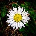 Daisy - Flickr - Stiller Beobachter (2).jpg