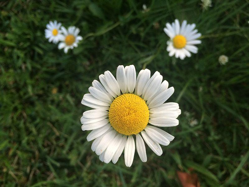 File:Daisy in the Summer.jpg