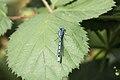 Damselfly - Harrold Country Park June 2009 (3665740913).jpg