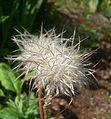 Dandelion-Like Flower.JPG