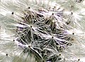 Dandelion seeds, close up (2553701789).jpg