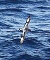 Daption capense -near Clarence Island, Southern Ocean -flying-8 (1).jpg