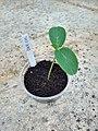Dar cucumber seedling.jpg