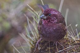 Dark-rumped Rosefinch East Sikkim India 12.05.2014.jpg