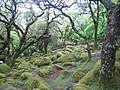 Dartmoor, Wistman's Wood - geograph.org.uk - 433250.jpg