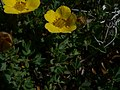 Dasiphora fruticosa 23080.JPG