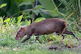 Central American agouti - Image: Dasyprocta punctata (Gamboa, Panama)