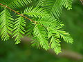 Dawn Redwood Metasequoia glyptostroboides Needles 3264px.jpg