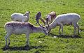 Deer in the park (6218124178).jpg
