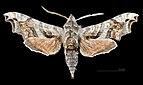 Deidamia inscriptum MHNT CUT 2010 0 154 Vernon (Floride) male dorsal.jpg