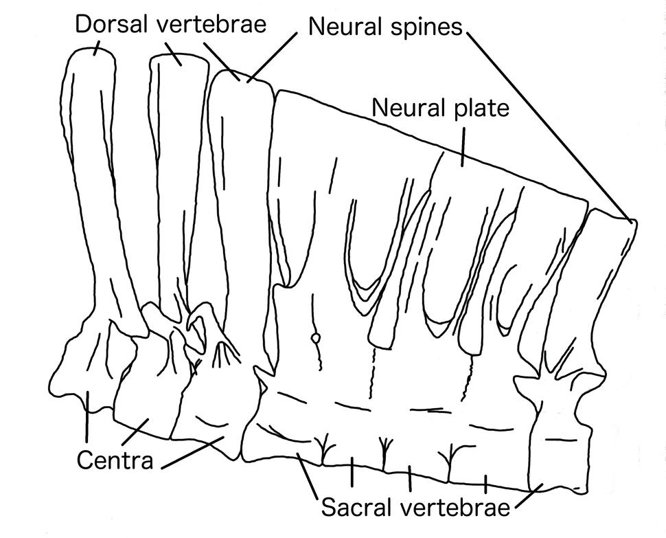 Deinocheirus vertebrae en