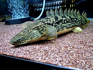 Bichir Amily of archaic-looking ray-finned fishes