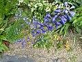 Delphinium sp. Caucasus - Flickr - peganum (2).jpg