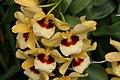 Dendrobium Gatton Sunray 0zz.jpg