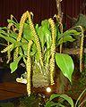Dendrochilum longifolium Orchi 01.jpg