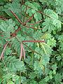 Desmanthus leptophyllus 1142.JPG
