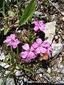 Dianthus glacialis.jpg
