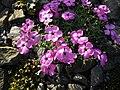 Dianthus neglectus 3.JPG