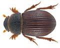 Diastictus vulneratus (Sturm, 1805) (22060415486).png