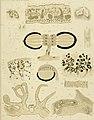 Die polycladen (seeplanarien) des golfes von Neapel und der angrenzenden meeres-abschnitte (1884) (20754834489).jpg
