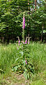 Digitalis purpurea - Purple Foxglove - Roter Fingerhut - Hesse - Germany - 38.jpg
