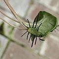 Dorstenia barnimiana-IMG 1604.jpg