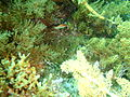 Dotalabrus alleni (f) Little rainbow wrasse P1020919.JPG