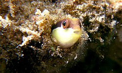 Dottyback in a hole.jpg