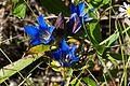 Downy gentian (Gentiana puberulenta) (15323650841).jpg