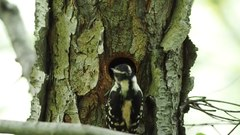 File:Downy woodpecker feeding chicks in Central Park (16450).webm