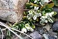 Draba arctica Mjölrublom 03.jpg