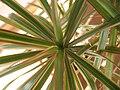 Dracaena marginata 'Tricolor' 01.jpg