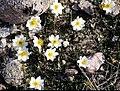 Dryas integrifolia 1999-07-07.jpg
