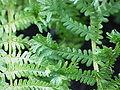 Dryopteris affinis f. cristata0.jpg