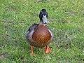 Duck (29628200355).jpg