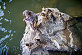 Duck Family Resting on a Rock (19026560084).jpg