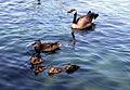 Duck duck goose Great Falls.JPG