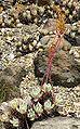 Dudleya caespitosa 1.jpg