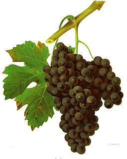 Duras (grape) varietal