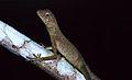 Dusky Earless Agama (Aphaniotis fusca) (8688652360).jpg
