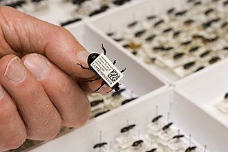 Example of a collection barcode on a pinned beetle specimen ENTO Museum Barcode.jpeg