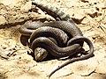Eastern Brown Snake eating an Eastern Blue tongue. (8235985873).jpg